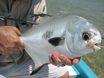Close Up of a Permit