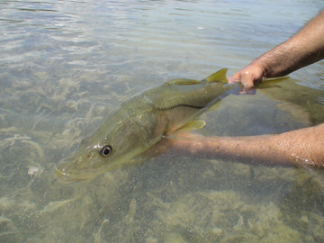 Snook Release in the Cancun Lagoon