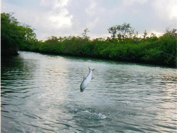 Tarpon In The Air
